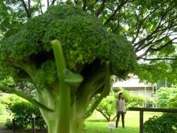 ブロッコリーの木